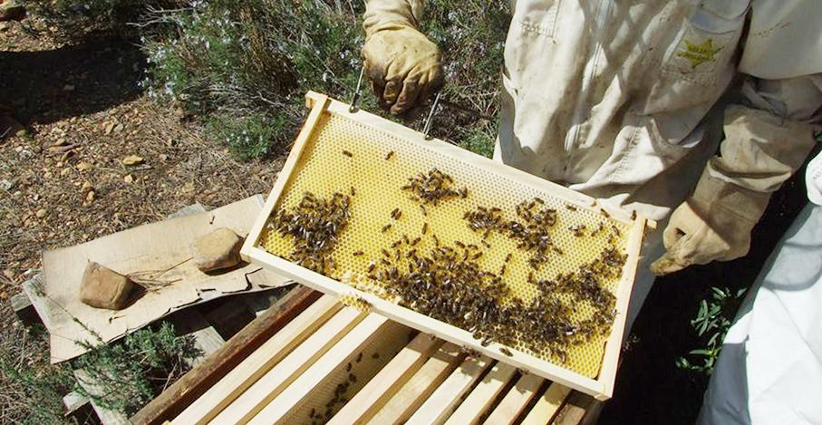 Impulsarán la producción de abejas